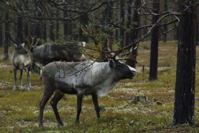 Reindeer on summer pasture