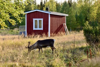 Reindeer Summer Field