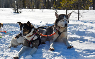 Two sled dogs on a break from racing
