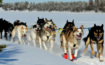 Group of sled dogs mid run in snow