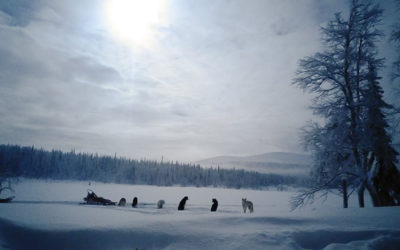 Sled dogs in morning fog