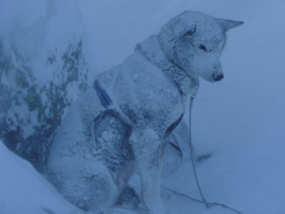 Sled dog covered in snow